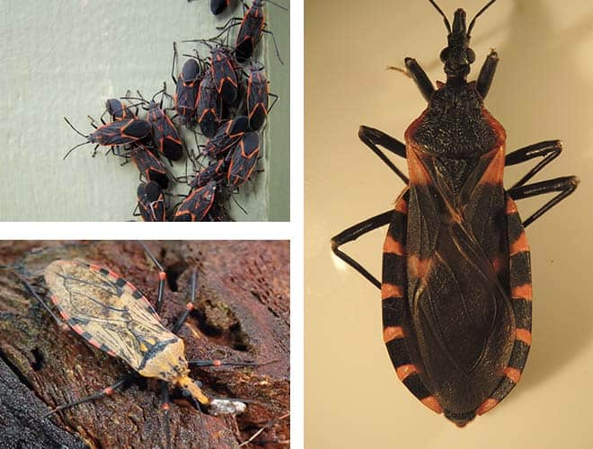 Виды и разновидности домашних клопов какие они бывают 16