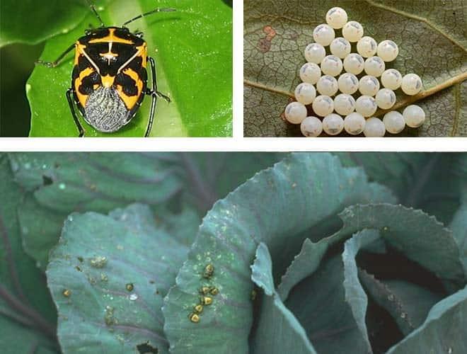 Виды и разновидности домашних клопов какие они бывают 19