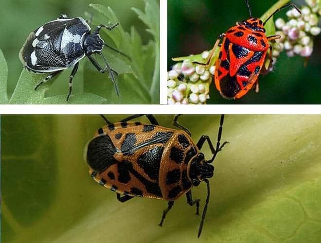 Виды и разновидности домашних клопов какие они бывают 20