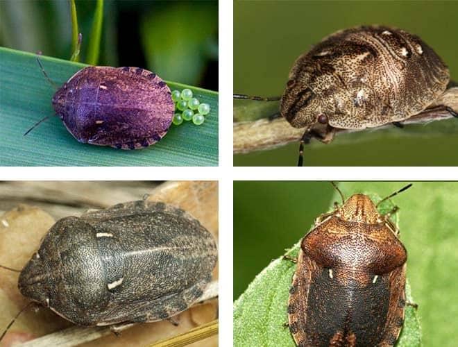 Виды и разновидности домашних клопов какие они бывают 23