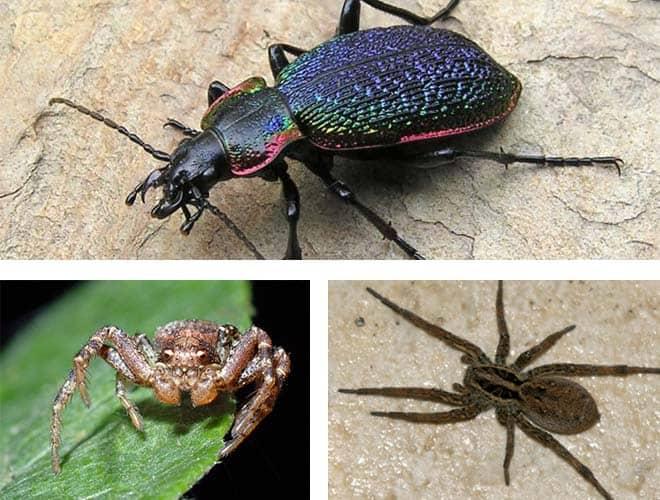 Жужелицы и некоторые виды пауков - враги клопов вредная черепашка