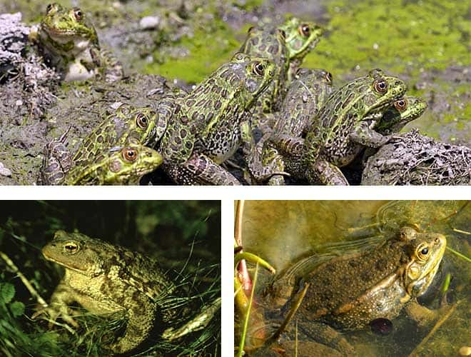 Лягушки главные враги водяных клопов