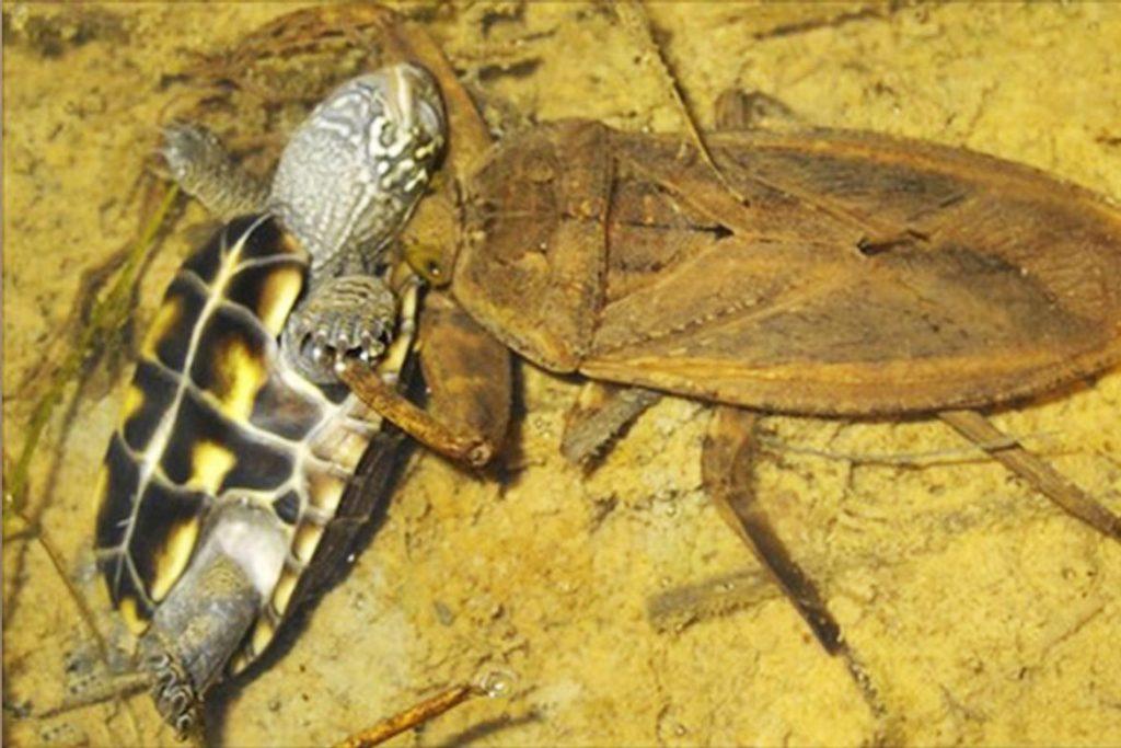 Гигантский водяной клоп Белостома опасность для человека описание и фото напала на черепаху