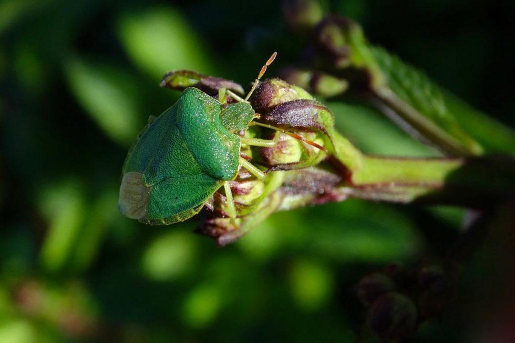 Как выглядит зеленый древесный клоп и стоит ли его бояться спинка