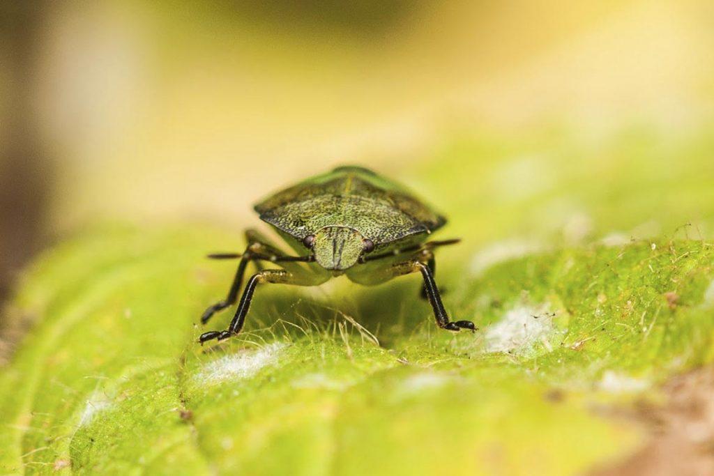 Как выглядит зеленый древесный клоп и стоит ли его бояться на листьях
