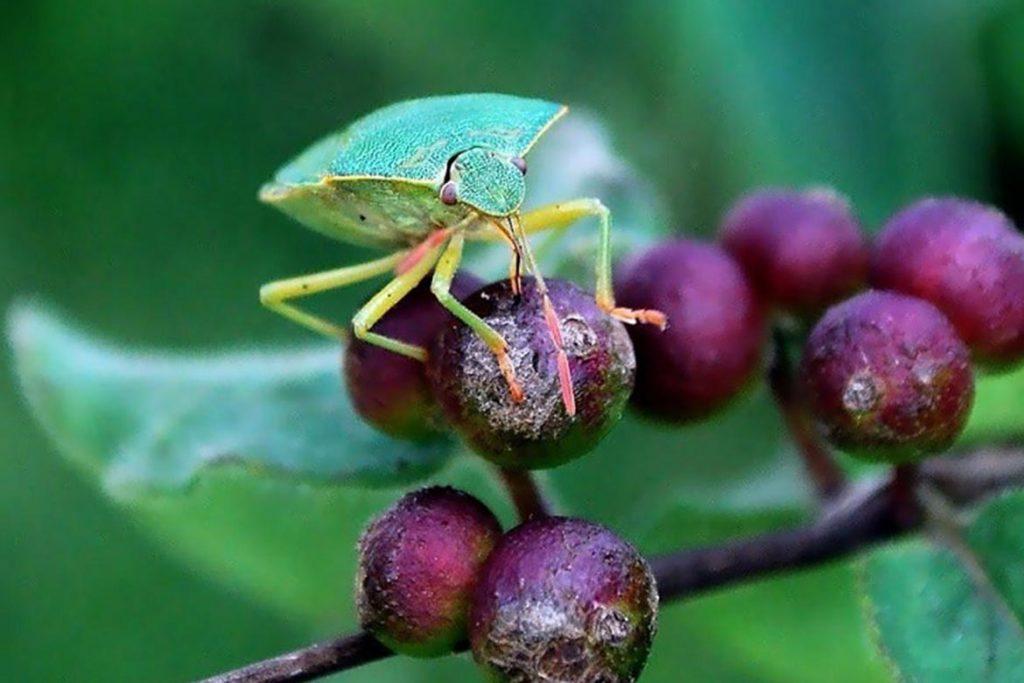 Как выглядит зеленый древесный клоп и стоит ли его бояться ягоды
