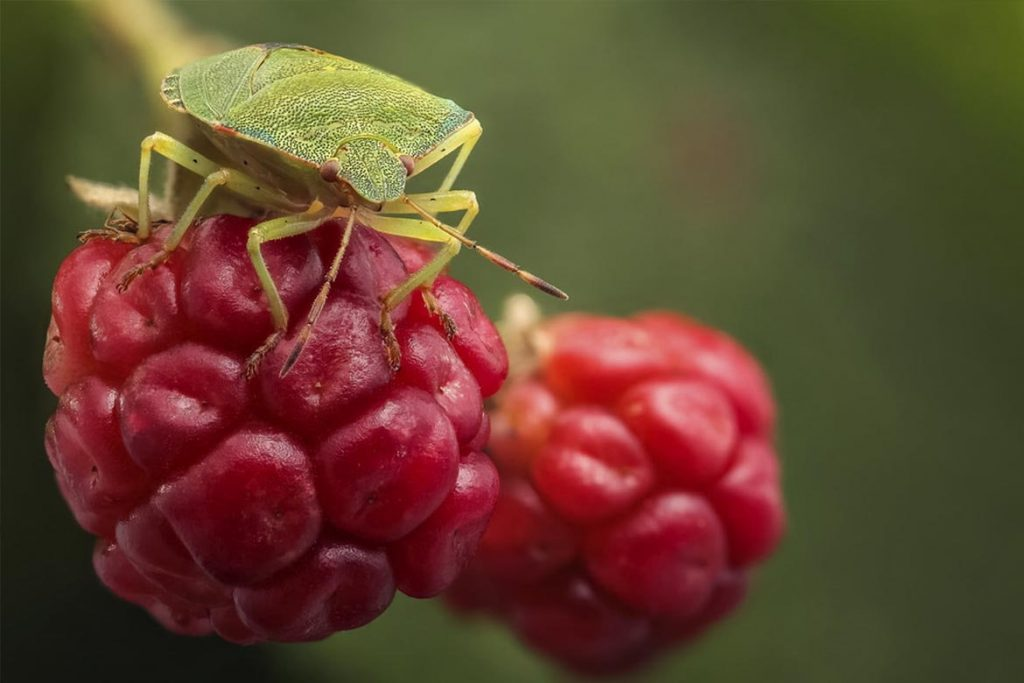 Как выглядит зеленый древесный клоп и стоит ли его бояться на ягодах