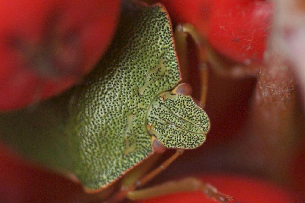 Как выглядит зеленый древесный клоп и стоит ли его бояться поедает ягоды