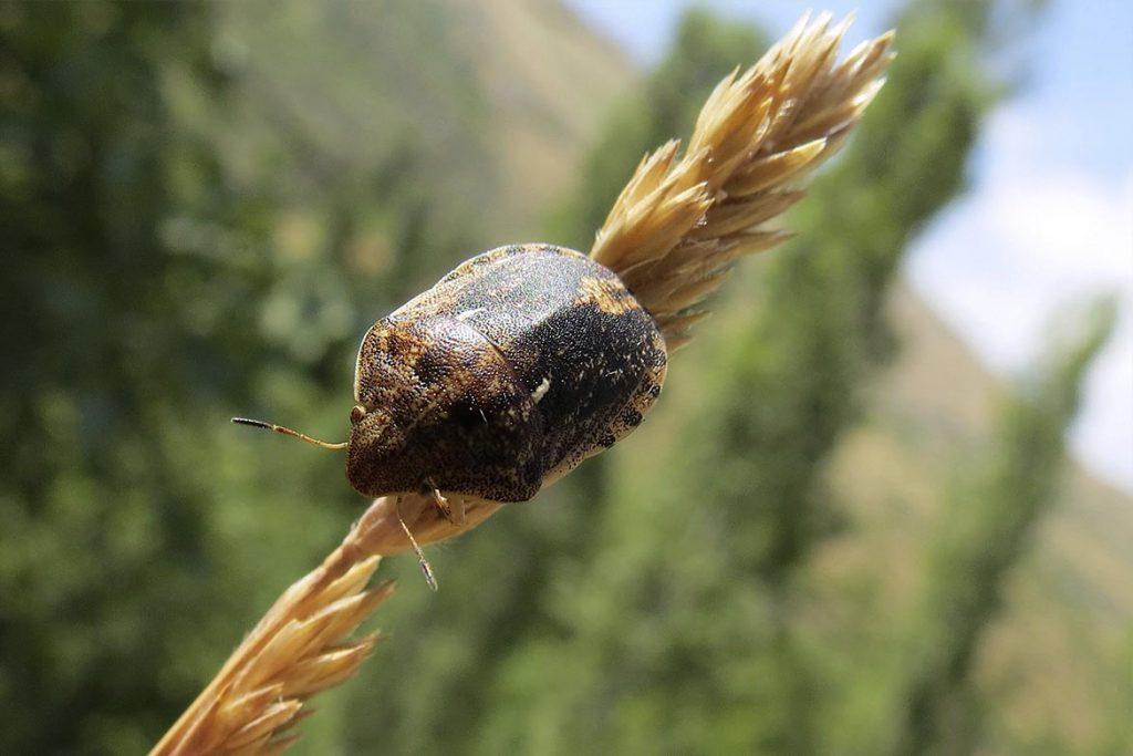 Клоп вредная черепашка методы борьбы с ним и его влияние на пшеницу