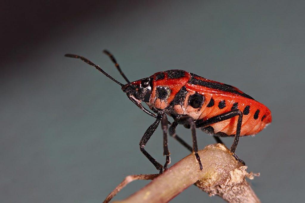 Крестоцветный клоп фото описание размножение как спасти урожай и как избавиться от клопа полужесткокрылые