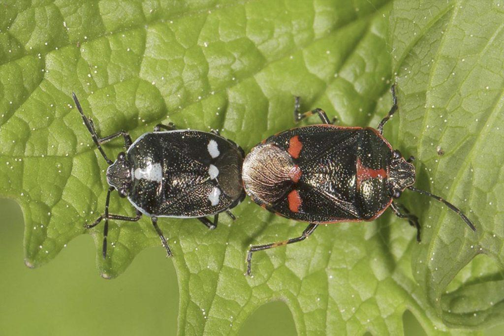 Крестоцветный клоп фото описание размножение как спасти урожай и как избавиться от клопа поиск партнера
