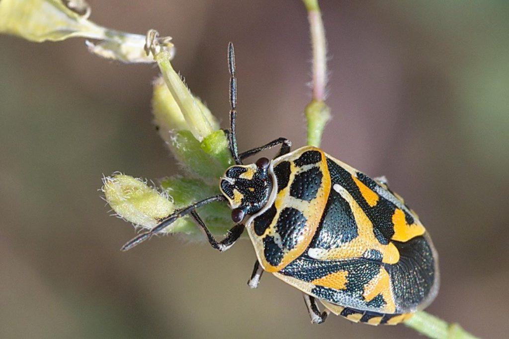 Крестоцветный клоп фото описание размножение как спасти урожай и как избавиться от клопа откладывает яйца