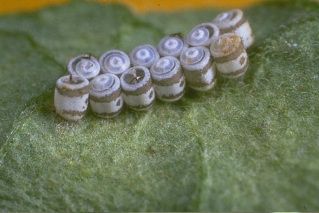Крестоцветный клоп фото описание размножение как спасти урожай и как избавиться от клопа яйца