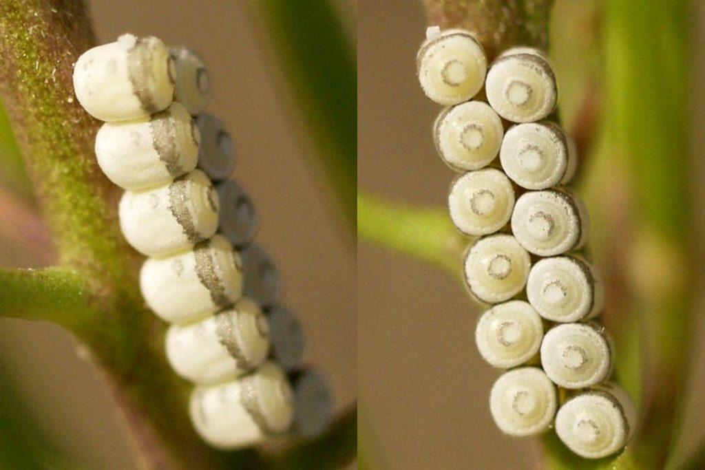 Крестоцветный клоп фото описание размножение как спасти урожай и как избавиться от клопа