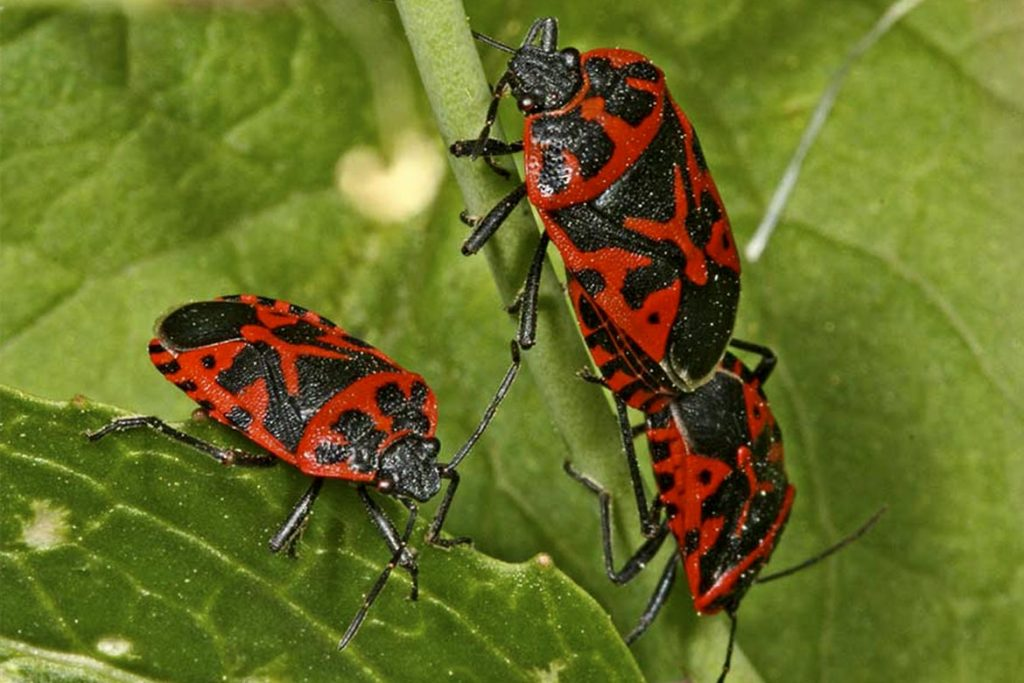 Крестоцветный клоп фото описание размножение как спасти урожай и как избавиться от клопа капустный