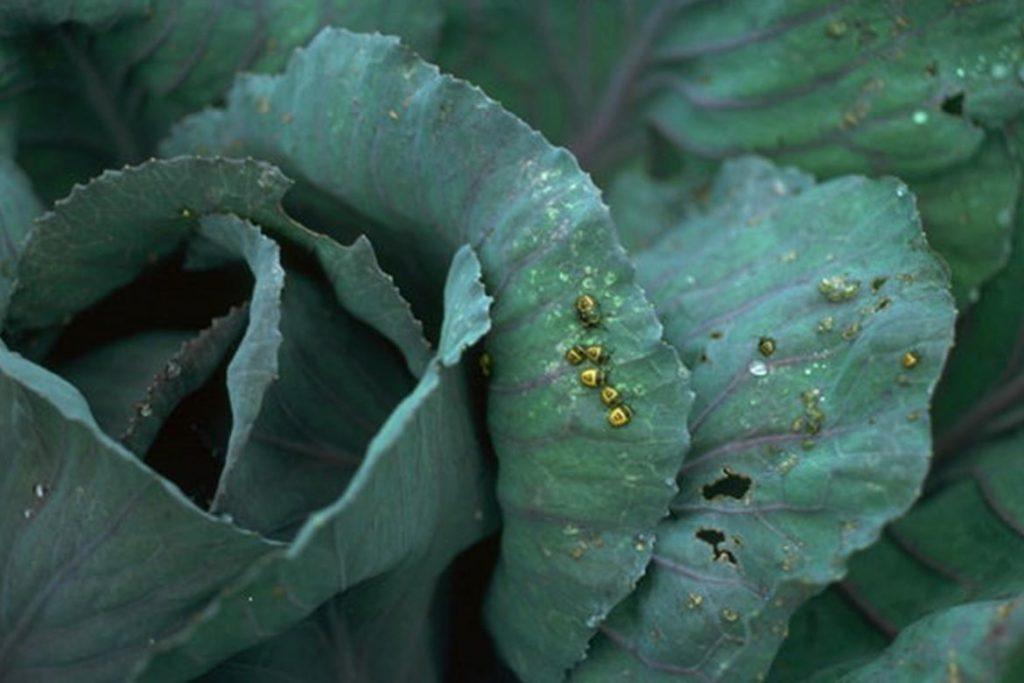 Крестоцветный клоп фото описание размножение как спасти урожай и как избавиться от клопа вред