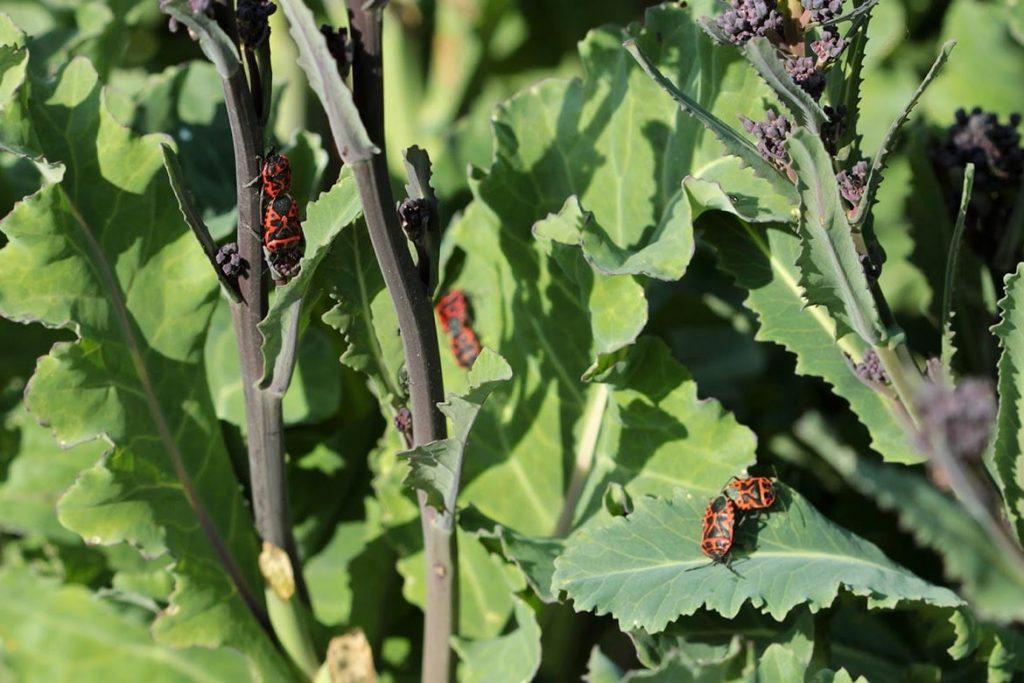 Крестоцветный клоп фото описание размножение как спасти урожай и как избавиться от клопа поедание