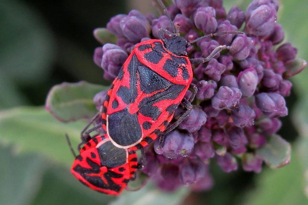 Крестоцветный клоп фото описание размножение как спасти урожай и как избавиться от клопа маскировка