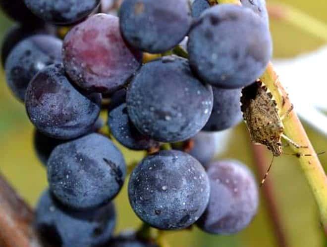 Мраморный клоп враг сельского хозяйства эффективные методы борьбы с ним на винограде
