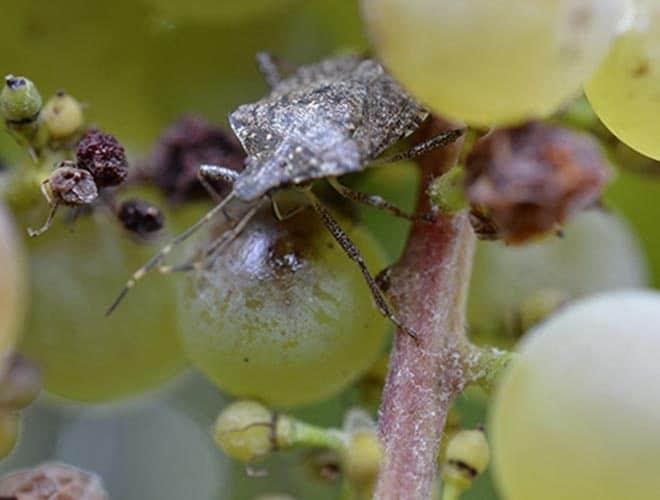 Мраморный клоп враг сельского хозяйства эффективные методы борьбы с ним поедает виноград