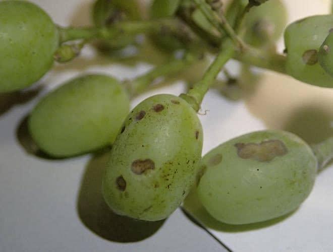 Мраморный клоп враг сельского хозяйства эффективные методы борьбы с ним в посадках винограда