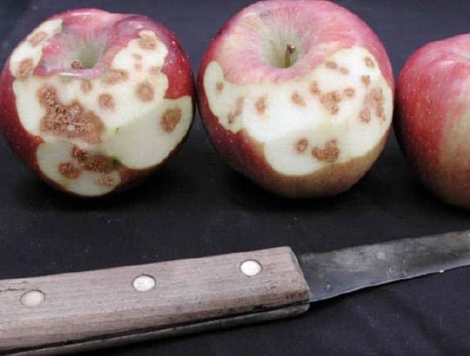 Мраморный клоп враг сельского хозяйства эффективные методы борьбы с ним не обработанные яблоки
