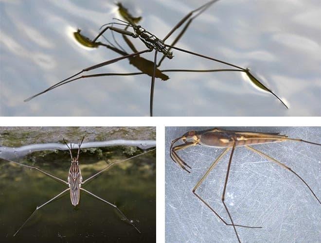 Строение насекомого водомерка