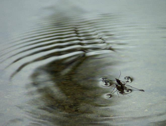 У насекомого водомерки лапки очень быстро скользят по воде