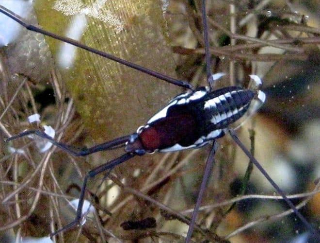 Водомерка насекомое Charmatometrinae