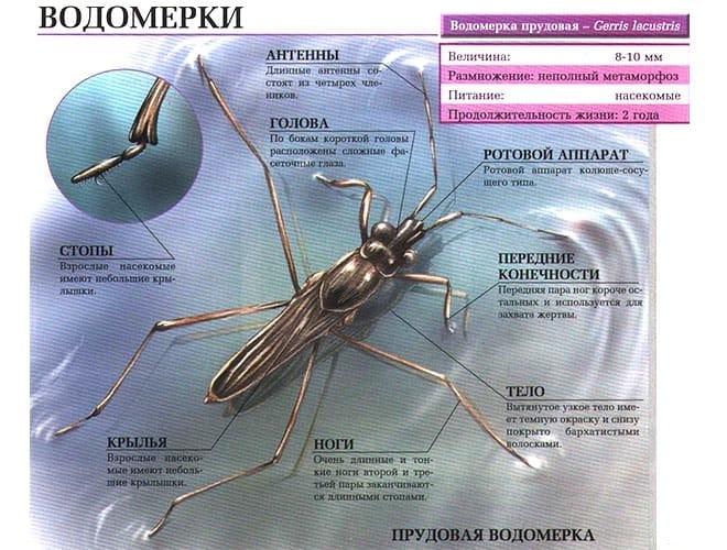 Водомерка насекомое строение тела