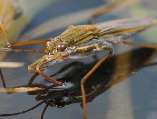 Насекомое панцирная водомерка Gerris thoracicus
