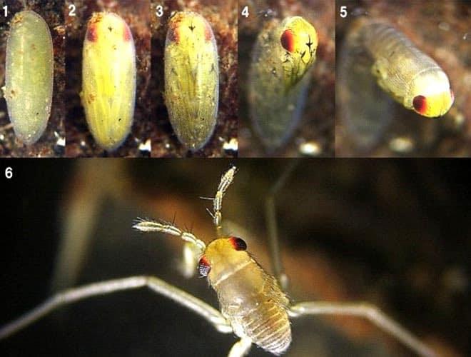 Водомерка насекомое как выглядят личинки