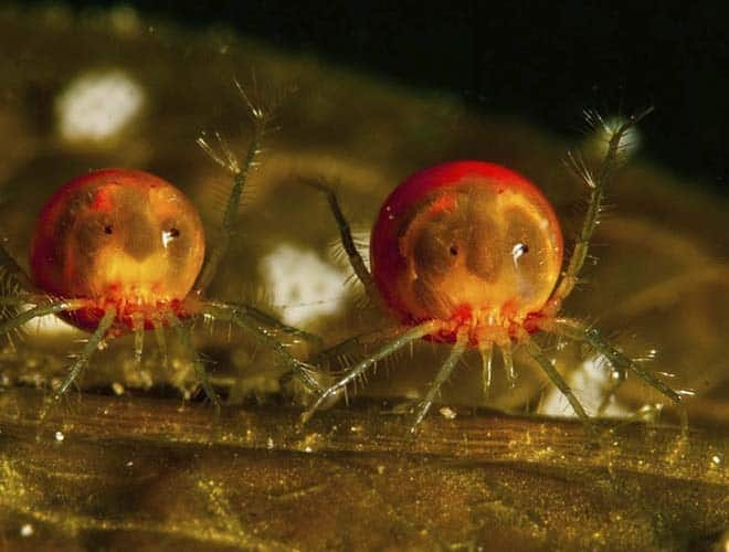 Часто насекомое водомерка становится жертвой водяных клещей