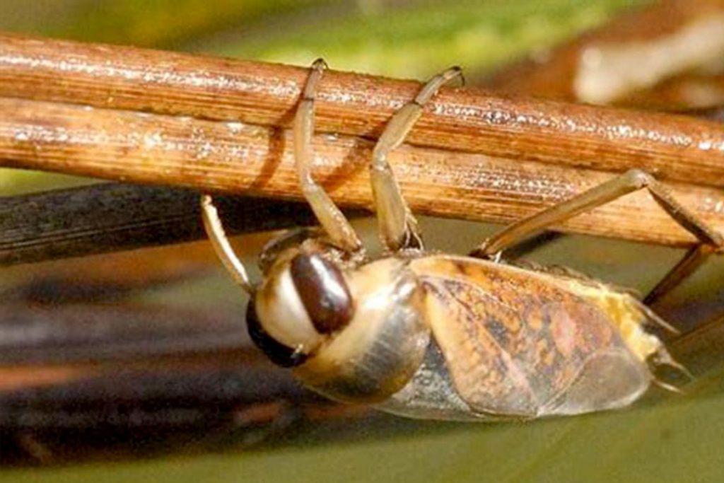 Водяные клопы виды среда обитания и опасность для человека гладыш в засаде