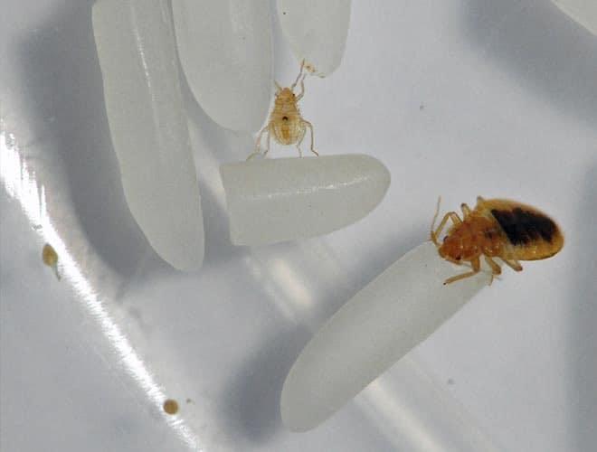 Где живут личинки клопов в квартире