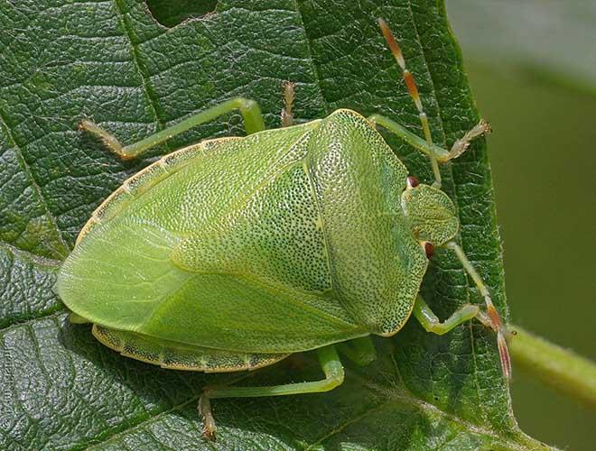 Самый вонючий клоп древесный щитник зеленый
