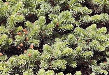 33 лучших народных средств от вшей и гнид применяем в домашних условиях для детей и взрослых ветки хвойного дерева