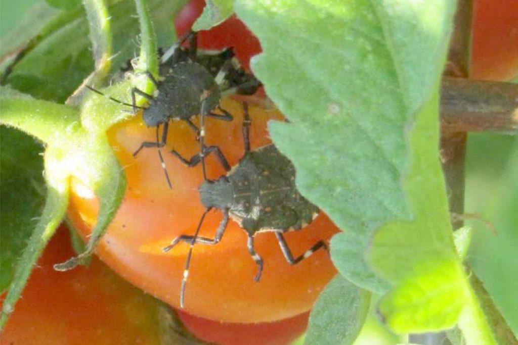 Чем опасен клоп черепашка на помидорах меры борьбы для эффективного и быстрого избавления от вредителя мраморный клоп