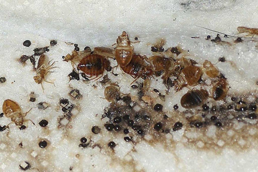 Как найти гнездо клопов у себя в квартире програчные тела