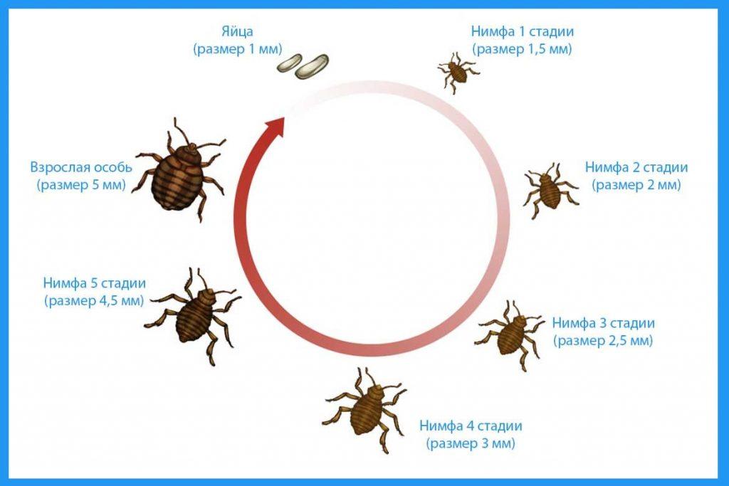 Как размножаются постельные клопы в квартире цикл