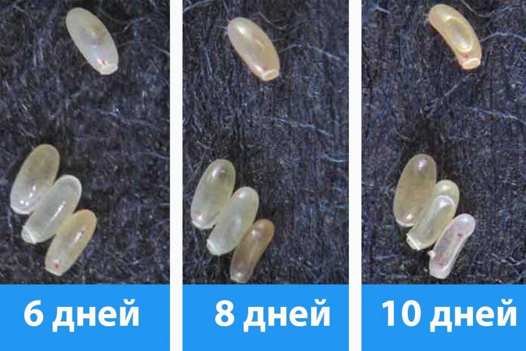 Как выглядят и как уничтожить яйца клопов созревание