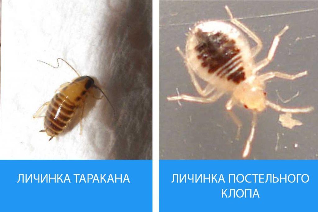 Как выглядят личинки постельного клопа Описание фото способы уничтожения сравнение с тараканом