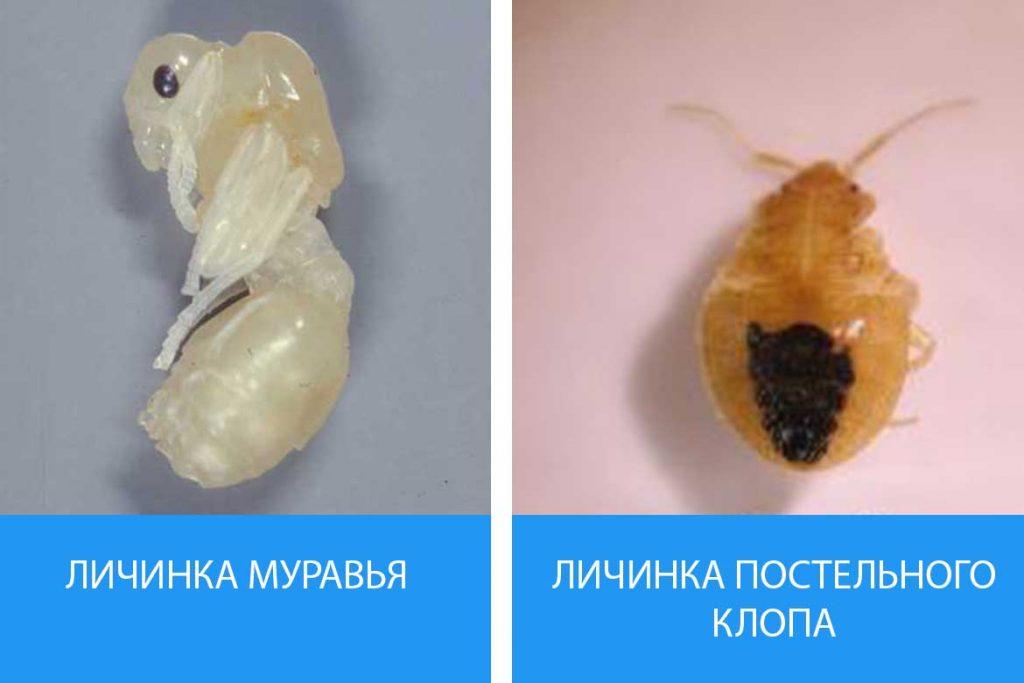 Как выглядят личинки постельного клопа Описание фото способы уничтожения личинка муравья