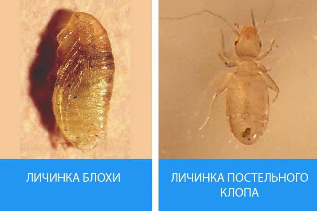 Как выглядят личинки постельного клопа Описание фото способы уничтожения личинка блохи