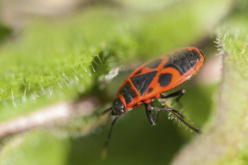 Клоп солдатик фото жука описание способы избавления