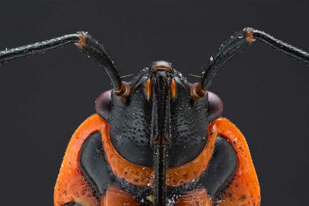 Клоп солдатик фото жука описание способы избавления усики