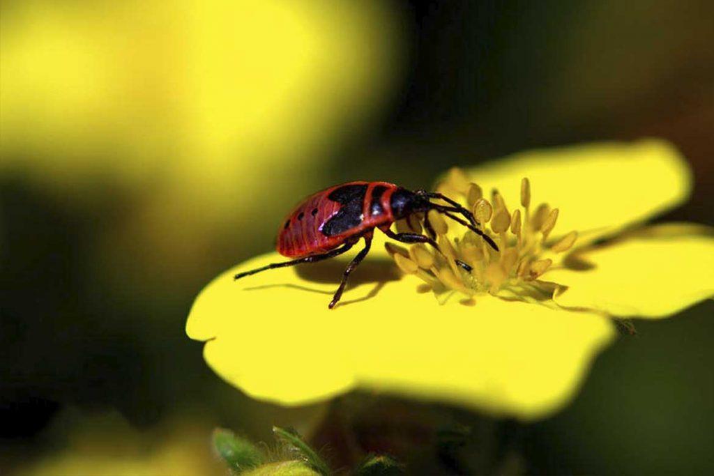 Клоп солдатик фото жука описание способы избавления личинки