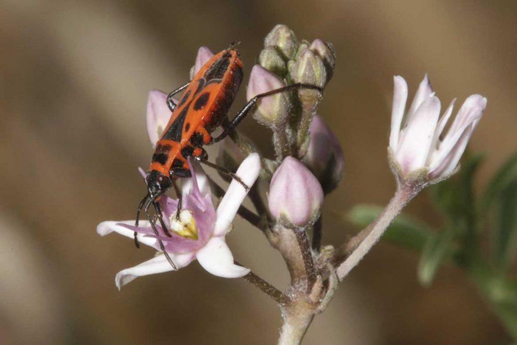 Клоп солдатик фото жука описание способы избавления среда обитания