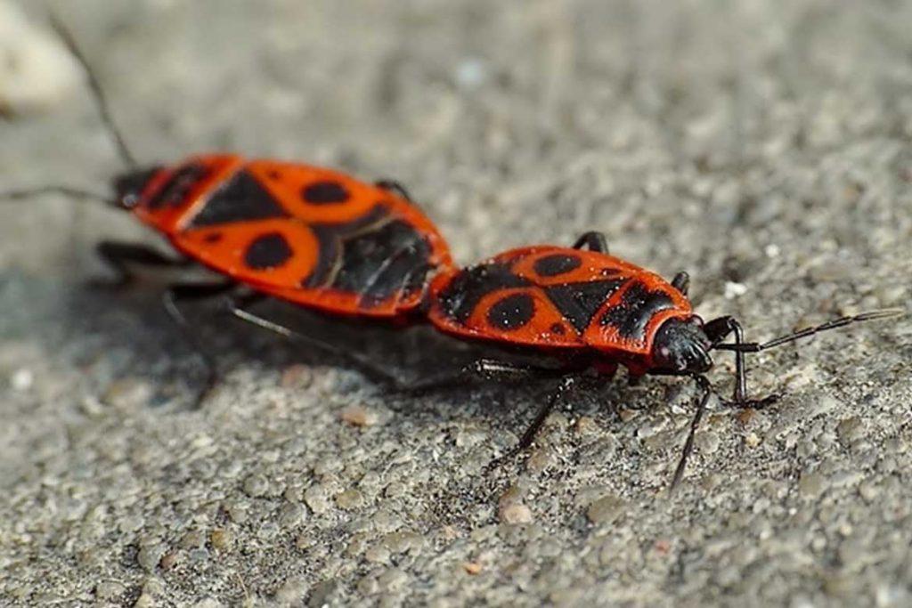 Клоп солдатик фото жука описание способы избавления спаривание