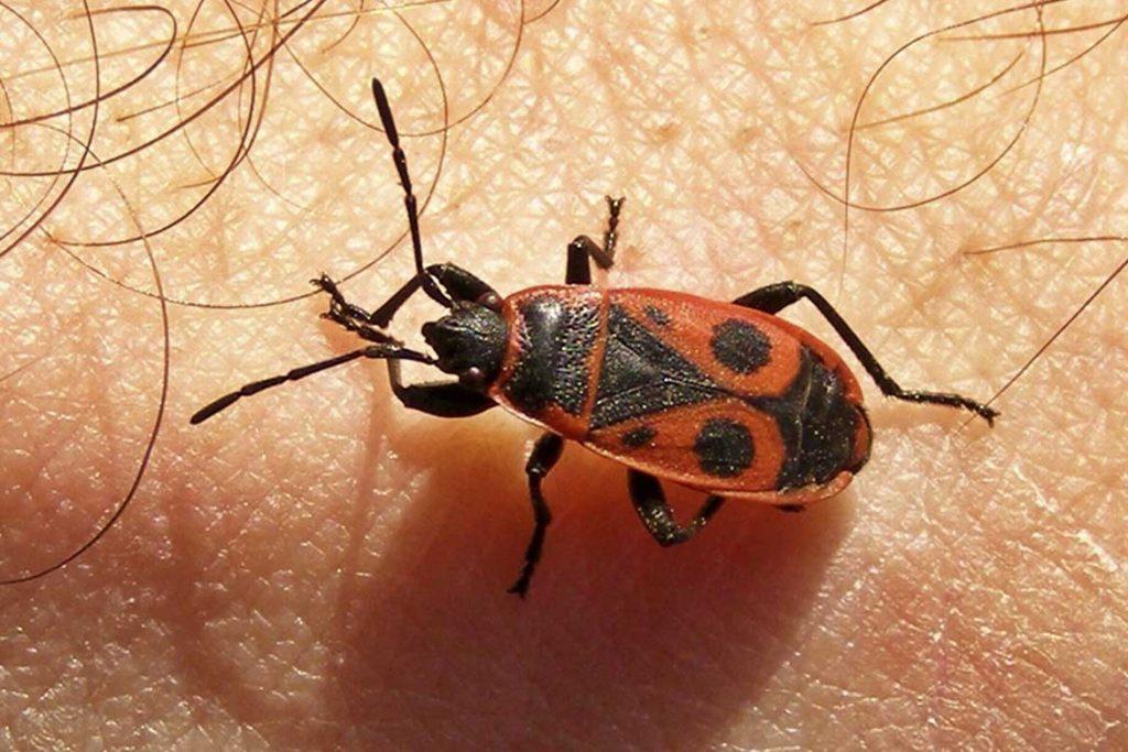 Клоп солдатик фото жука описание способы избавления укусы